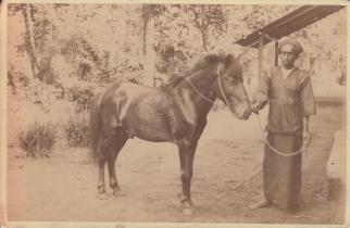 Koeda Pit (Hosre named Pit) 1891
